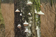 Lots Of Beeswax Bracket Fungi Growing On A Standing Dead Birch Tree