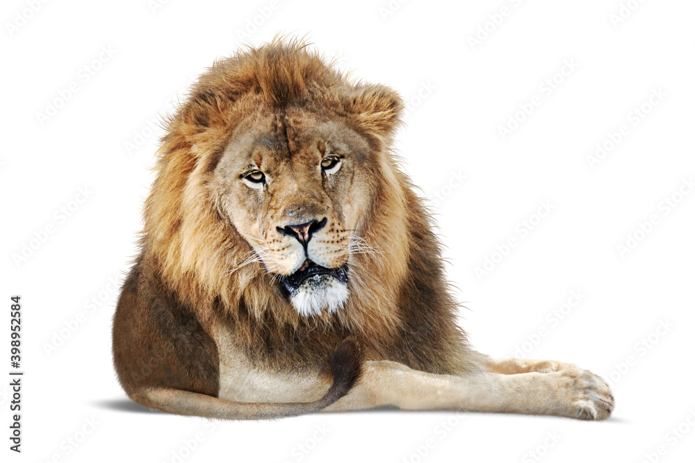 Fototapeta African Male Lion Lying Down - Extracted