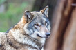 gray wolf in the zoo
