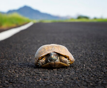 Ornate Or Desert Box Turtle Low Angle Close Up In Road In Arizona Desert