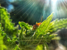 Picture Of Red Cucumber Beetle On Leaf In Sunlight