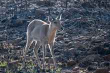 A Mountain Reedbuck Descending The Mountainside Backlit By The Early Morning Sun