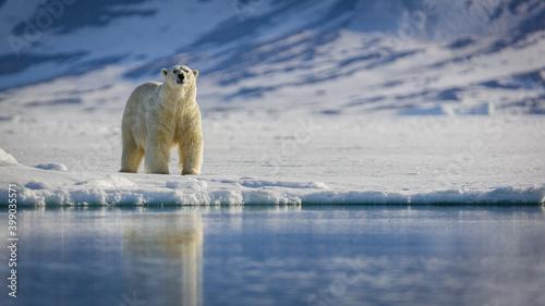 Fotografie, Obraz Image of polar bears in Svalbard