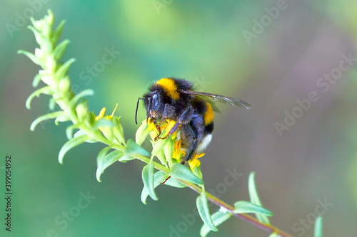 Fotografie, Obraz bee, insect, flower, macro, nature, honey, yellow, pollen, fly, summer, bumbleb