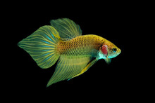 Yellow Wild Betta Fish, Siamese Fighting Fish, Pla-kad (Biting Fish) Isolated On Black Background.