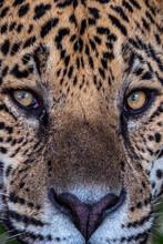 Jaguar Eyes Close Up, Pantanal
