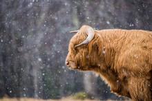 Herd Of Highland Cattle Scotland