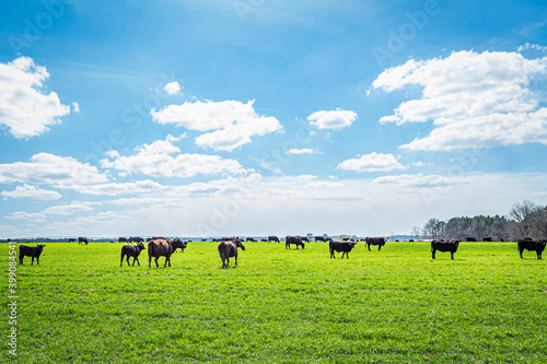 Canvas Print Cattle in a Pasture