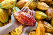 Farmer Holding Cacao Pods In A Cacao Farm.