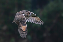 Beautiful The Long-eared Owls (Asio Otus) Hunting In The Forest Of Noord Brabant In The Netherlands.