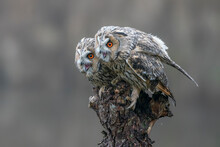 Two Beautiful The Long-eared Owls (Asio Otus) On A Branch In The Forest Of Noord Brabant In The Netherlands.