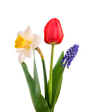 Muscari, Narcissus And Red Tulip With Green Leaves, Isolated On White Background. Spring Flowers.