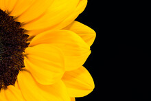 Bright Yellow Sunflower On Dark Background With Copy Space