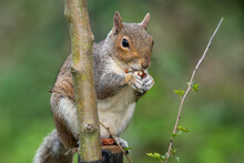 Portrait Of An Eastern Grey Squirrel (sciurus Carolinensis) Sitting On A Wooden Post While Eating A Nut