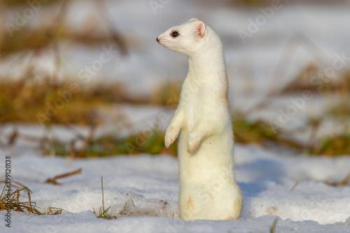 Hermelin (Mustela erminea) im Winterfell Fototapeta