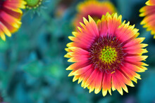 Top View Of Yellow Indian Blanket Flower, Macro Image Of Flower.