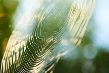 Big Cowweb Among Blades In Field In Sun Light At Dawn. Spider's Web In Summer Field In Sun Rays At Dawn.
