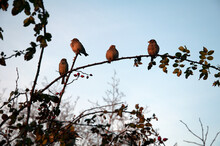 Sparrows At Sunset. Four Sparrows On A Rose Hip Bush At Sunset. High Quality Photo