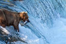 Brown Bear Iwith A Salmon At Brook Falls