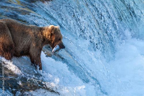 Photo Brown Bear iwith a salmon at Brook Falls