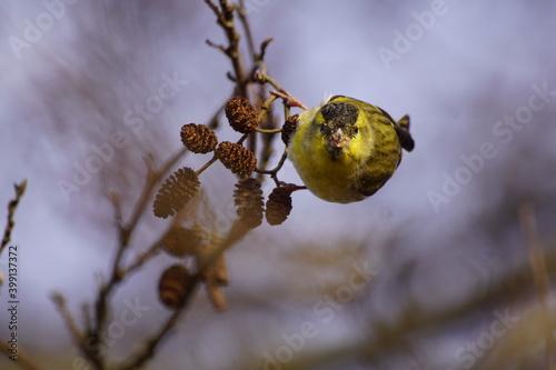 Czyż ,ptak czyż , dziki ptak ,ptak na gałęzi ,kolorowy ptak  - fototapety na wymiar