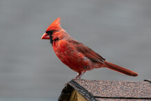 A Male Northern Cardinal Is Perched Atop A Birdhouse Displaying His Full Breeding Colours.
