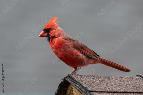 Fototapeta A male northern cardinal is perched atop a birdhouse displaying his full breeding colours