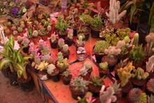 Plantas, Cactus Pequeños En Mercado Mexicano, Ciudad De Queretaro