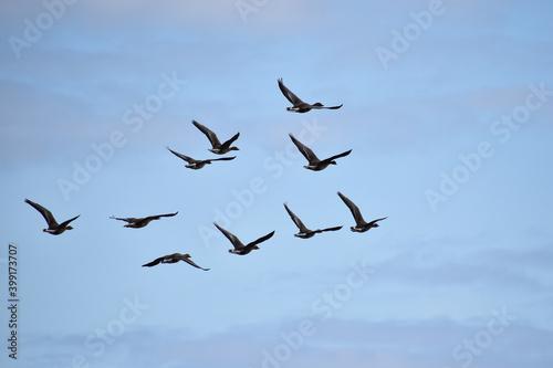 Fotografiet 上空を飛ぶマガン