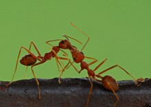 Ant Is A Small Insect Typically Having A Sting And Living In A Complex Social Colony With One Or More Breeding Queens. It Is Wingless Except For Fertile Adults, Which Form Large Mating Swarms