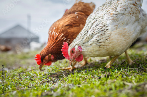 Canvas Print chickens in yard graze, poultry farm