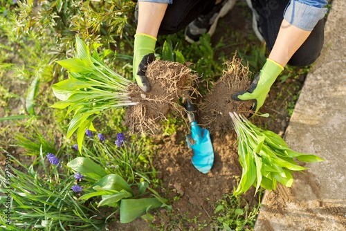 Obraz Close-up of spring dividing and planting bush of hosta plant in ground - fototapety do salonu