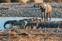 African Elephant And Burchells Zebras At The Okaukeujo Waterhole