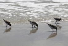 Sandpipers On The Atlantic Coast Of Florida
