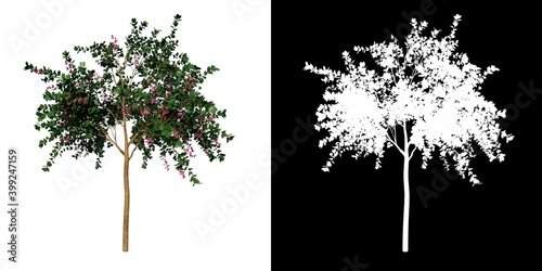 Canvas Front view tree (Young Hong Kong orchid tree 1) white background alpha png 3D Re