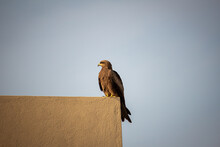 View Of A Common Eagle Resting Over A Parapet Wall In Urban Area