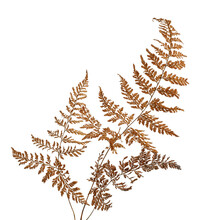 Fern Leaf, Sear Fern Isolated On White Background, With Clipping Path
