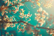 Flower Wild Himalayan Cherry  Blue Sky Background