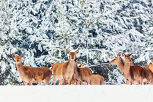 Winter Wildlife Landscape With Young Noble Deers Group Against Winter Forest.