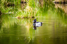 Ring Necked Duck Floating In Pond