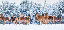 Winter Wildlife Landscape With Young Noble Deers Group Against Winter Forest. Banner Wide Format Image