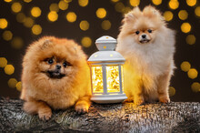 Two Pomeranian Spitz Dogs Posing With A Lantern Outdoors For Christmas, Close Up Portrait