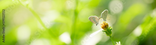 Fototapeta Nature view of beautiful small butterfly mating on green nature blurred background in garden with copy space using as background insect, natural landscape, ecology, fresh cover page concept. obraz