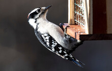 Downy Woodpecker On A Wooden Suet Feeder