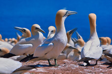 Largest Single Colony Of Northern Gannets In The World On Bonaventure Island Near Perce Quebec, Canada