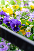 Multicolored Pansies With Morning Dew.