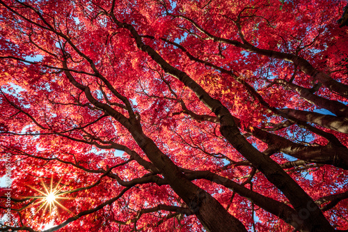 Fiery Red Japanese Maple Tree Showing Fall Color #399365705