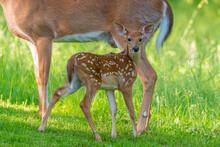 Baby White Tail Deer Fawn Standing In Field Near Forest Near Doe
