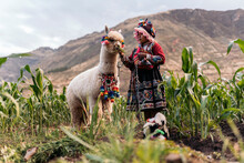 Peruvian Indigenous Girl Feeding An Alpaca