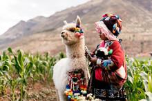 Peruvian Indigenous Girl Feeding An Alpaca